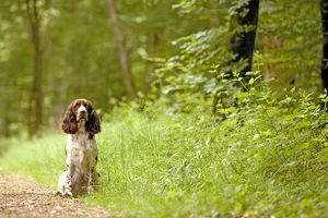 Dog - English springer spaniel on woodland path
