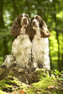 Dog - two English springer spaniels in woodland