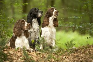 Dog - English springer spaniels in woodland