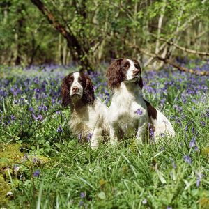 DOG - ENGLISH SPRINGER SPANIELS X2 2 1/4 in bluebells