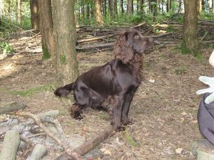 Dog - Field Spaniel in woods