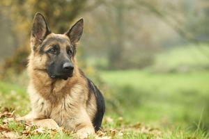 Dog - German Shepherd - adult