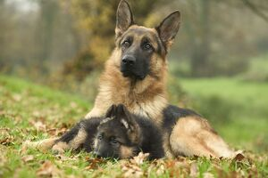 Dog - German Shepherd - adult with puppy