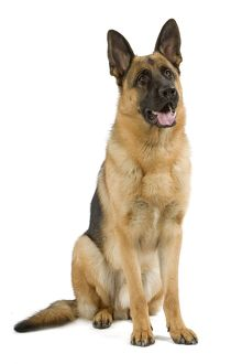 Dog - German Shepherd / Alsatian. Also known as Deutscher Schaferhund or Berger Allemand