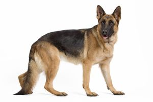 Dog - German Shepherd / Alsatian
