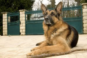Dog - German Shepherd / Alsatian - lying outside gates