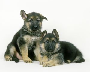 Dog - German Shepherd / Alsatian puppies