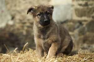 Dog - German Shepherd / Alsatian - Puppy