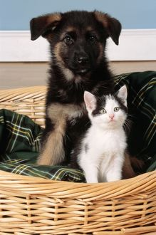DOG - German Shepherd / Alsatian puppy and Kitten in basket