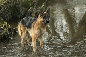 Dog - German Shepherd / Alsatian - In river
