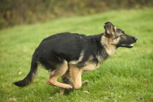 Dog - German Shepherd / Alsatian - Running