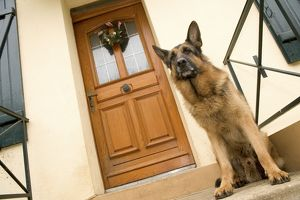 Dog - German Shepherd / Alsatian - sitting outside front door