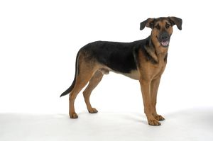 DOG. German Shepherd cross Doberman