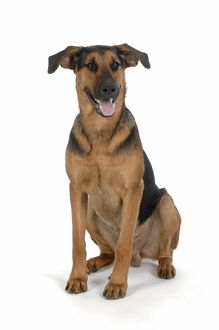 DOG. German Shepherd cross Doberman sitting down
