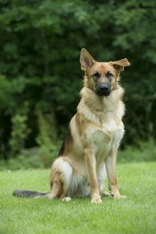 DOG - German shepherd dog - with one ear pointed and one ear flat