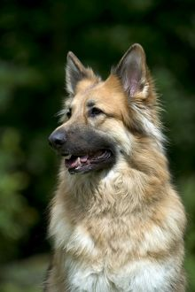 DOG - German shepherd dog (head shot)