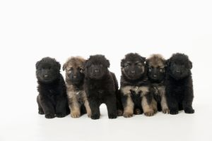 DOG - German shepherd dog puppies- in a row
