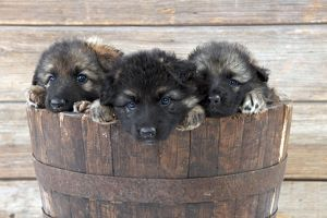 dog german shepherd dog puppies sitting wooden