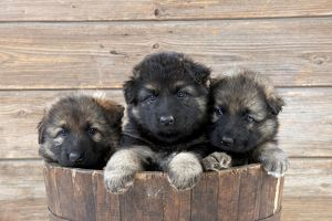 DOG - German shepherd dog - puppies sitting in wooden tub