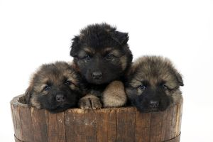 DOG - German shepherd dog puppies - sitting in wooden tub
