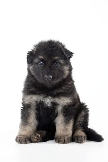 DOG - German shepherd dog - puppy