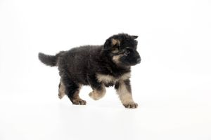 DOG - German shepherd dog - puppy running