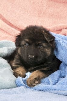 dogs/dog german shepherd dog puppy sitting blankets