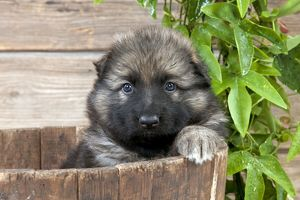 dog german shepherd dog puppy sitting wooden