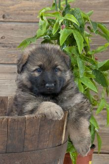 DOG - German shepherd dog - puppy sitting in a wooden tub