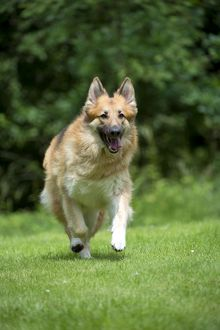 DOG - German shepherd dog - running through garden