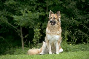 DOG - German shepherd dog - sitting in garden