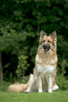 DOG - German shepherd dog sitting in garden