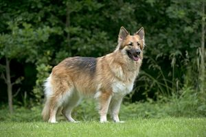 DOG - German shepherd dog standing in garden