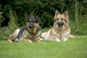 DOG - German shepherd dogs - sitting together in garden
