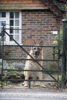 DOG - German Shepherd looking aggressive at gate