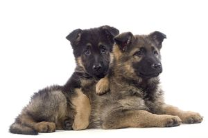 Dog - German Shepherd puppies