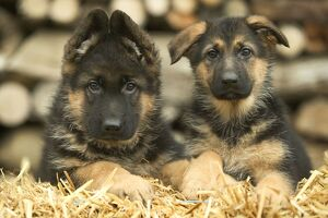 Dog - German Shepherd - two puppies