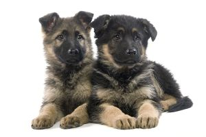 Dog - German Shepherd puppy