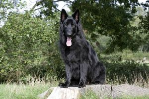 Dog - German Shepherd sitting on tree stump with tongue sticking out