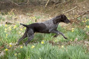 DOG - German short-haired pointer running through daffodils