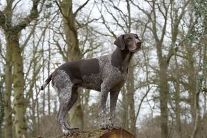 DOG - German short-haired pointer standing on fallen