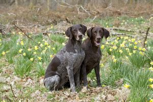 DOG - German short-haired pointers