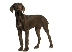 Dog - German Shorthaired Pointer - 4 month old puppy