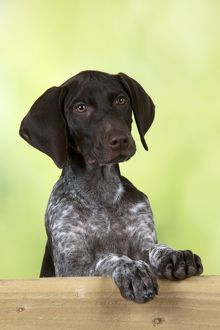DOG - German Shorthaired Pointer - looking over a fence