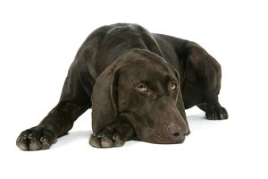 DOG - German shorthaired pointer lying down