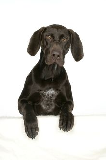 DOG - German shorthaired pointer with paws over ledge