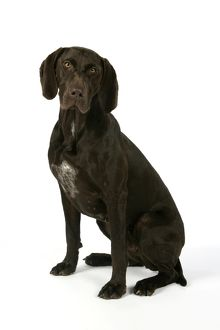 DOG - German shorthaired pointer sitting down