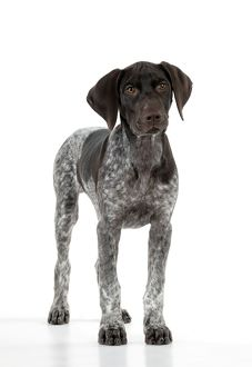 DOG - German Shorthaired Pointer - standing