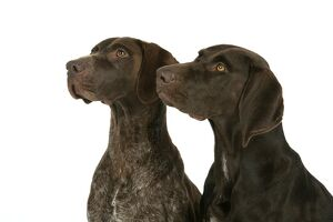 DOG - Two German shorthaired pointers
