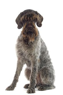 Dog - German Wire-haired pointer / Griffon Korthals sitting down